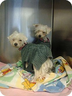 Maltese Mix Dog for adoption in Rochester, Minnesota - Cagney and Lacey
