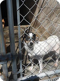 Chihuahua/Jack Russell Terrier Mix Dog for adoption in Falls Mills, Virginia - Carly