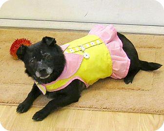 Chihuahua/Schipperke Mix Dog for adoption in High Point, North Carolina - Dakota