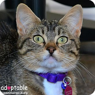 Domestic Mediumhair Cat for adoption in Edmonton, Alberta - Tigerlily