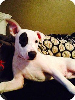 Jack Russell Terrier/Terrier (Unknown Type, Medium) Mix Puppy for adoption in MILWAUKEE, Wisconsin - ROCKO