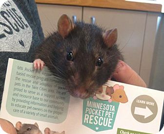 Rat for adoption in St. Paul, Minnesota - Potato - AVAILABLE SOON!