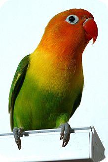 Lovebird for adoption in farmingville, New York - Sybil