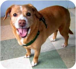 Beagle/English Springer Spaniel Mix Dog for adoption in Portland, Oregon - Stacey
