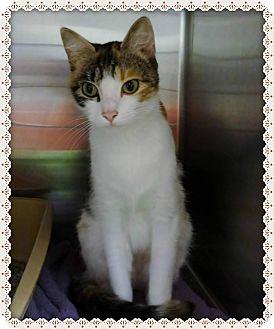 Domestic Shorthair Cat for adoption in Marietta, Georgia - PEANUT (R)