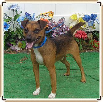 Jack Russell Terrier Mix Dog for adoption in Marietta, Georgia - HERSCHEL