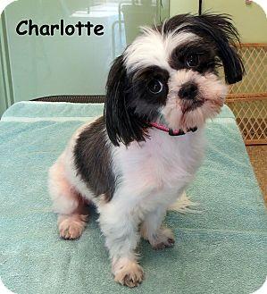 Shih Tzu Dog for adoption in Warren, Pennsylvania - Charlotte