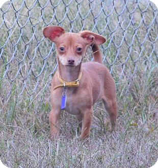 Terrier (Unknown Type, Small)/Dachshund Mix Puppy for adoption in Perryville, Missouri - Hodge
