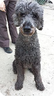 Poodle (Standard) Dog for adoption in Westminster, California - Sheldon