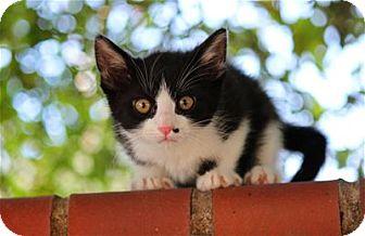 Domestic Shorthair Kitten for adoption in Lincoln, California - Fennel