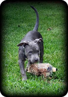 Pit Bull Terrier Puppy for adoption in Newcastle, Oklahoma - Liberty