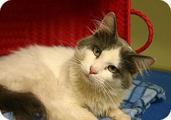 Domestic Longhair Cat for adoption in Hastings, Nebraska - Gizmo