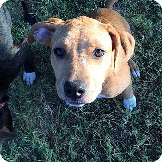 Hound (Unknown Type)/Labrador Retriever Mix Puppy for adoption in Austin, Texas - Gretel