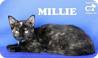 Domestic Shorthair Kitten for adoption in Carencro, Louisiana - Millie