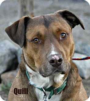 Australian Cattle Dog/Rottweiler Mix Dog for adoption in Yreka, California - Quill