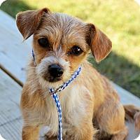 Adopt A Pet :: Donatella - Norwalk, CT