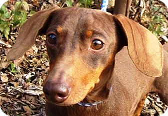 Dachshund Dog for adoption in Oswego, Illinois - I'M ADOPTED Widget
