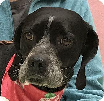 Labrador Retriever Mix Dog for adoption in Evansville, Indiana - Bryn