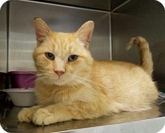 Domestic Shorthair Cat for adoption in Elyria, Ohio - Ortiz