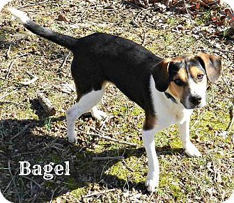 Beagle/Jack Russell Terrier Mix Dog for adoption in Lawrenceburg, Tennessee - Bagel