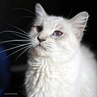 Siamese Cat for adoption in Tucson, Arizona - Lagertha
