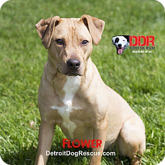 American Staffordshire Terrier/Labrador Retriever Mix Dog for adoption in St. Clair Shores, Michigan - Flower