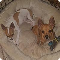 Adopt A Pet :: Chocalata - Guest - Dallas, TX