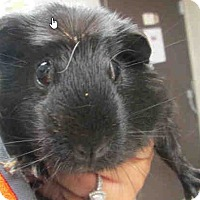 Adopt A Pet :: *Urgent* Penny - Fullerton, CA