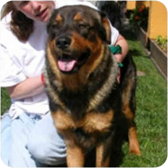 Rottweiler/Chow Chow Mix Dog for adoption in Berkeley, California - Wylie