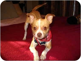 Chihuahua Mix Dog for adoption in San Diego, California - Brody