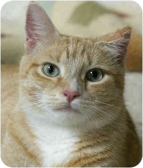 Domestic Shorthair Cat for adoption in Amelia, Ohio - Coda