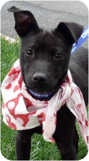 Whippet/Patterdale Terrier (Fell Terrier) Mix Puppy for adoption in Sacramento, California - Lindy cute