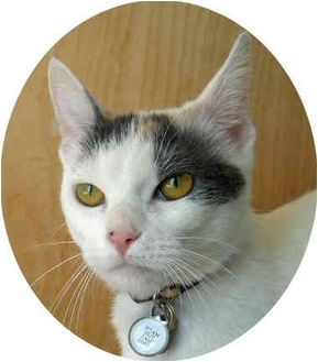 Japanese Bobtail Cat for adoption in Mandeville Canyon, California - Zoey