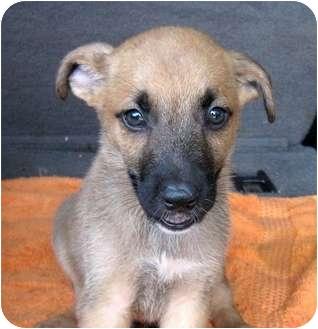 German Shepherd Dog Mix Puppy for adoption in Bel Air, Maryland - Niko