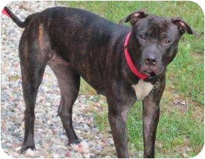 Pit Bull Terrier/Labrador Retriever Mix Dog for adoption in Bloomfield, Connecticut - Maryanne