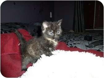 Domestic Mediumhair Kitten for adoption in Naperville, Illinois - Pebbles