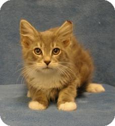 Domestic Mediumhair Cat for adoption in Sacramento, California - Fuzzy
