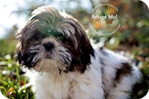 Shih Tzu Puppy for adoption in Shawnee Mission, Kansas - Tink