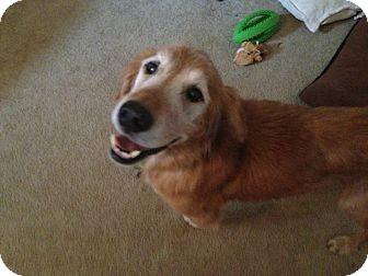 Golden Retriever Dog for adoption in Brattleboro, Vermont - Harvey