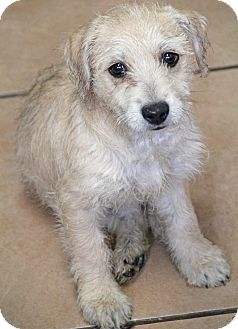 Terrier (Unknown Type, Small)/Poodle (Miniature) Mix Puppy for adoption in Yuba City, California - Molly
