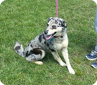 Australian Shepherd Dog for adoption in Sylva, North Carolina - Frances