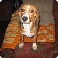 Adopt A Pet :: Sweet Pea - Courtesy Post - Dundas, VA