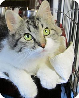 Domestic Mediumhair Cat for adoption in Muskogee, Oklahoma - Gracie