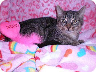 Domestic Shorthair Kitten for adoption in New Castle, Pennsylvania - Elsa