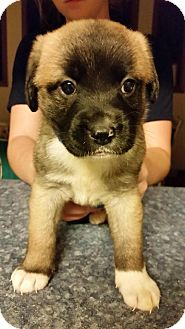 Shepherd (Unknown Type)/Labrador Retriever Mix Puppy for adoption in Laingsburg, Michigan - Remy