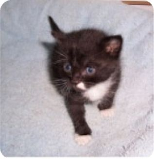 Domestic Shorthair Kitten for adoption in Salem, Oregon - Peaches