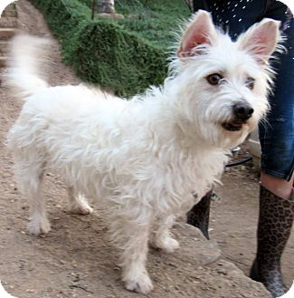 Westie, West Highland White Terrier/Cairn Terrier Mix Puppy for adoption in Poway, California - Bonnie Blue Belle