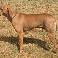 Rhodesian Ridgeback Dog for adoption in Seguin, Texas - Mikey