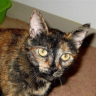 Domestic Mediumhair Cat for adoption in Midway City, California - Sweetie