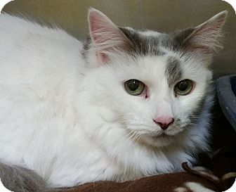 Domestic Longhair Cat for adoption in Adrian, Michigan - Layla